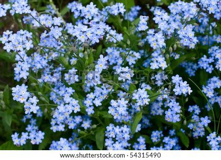 background of the many beautiful blue myosotis - stock photo