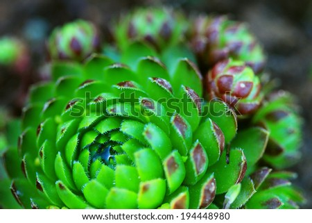Background of the succulent plant of the Sempervivum.  - stock photo