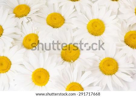 Background of white daisies - stock photo