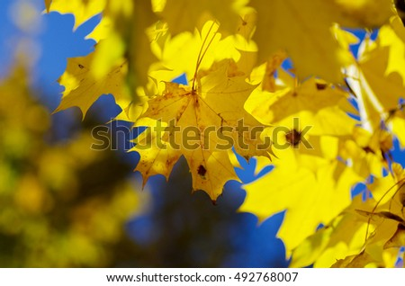 Background of yellow maple leaves. Autumn leaves background