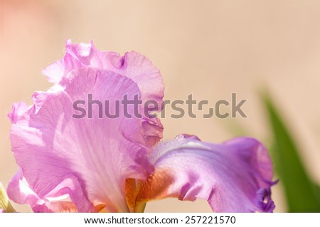 background on iris flower - stock photo
