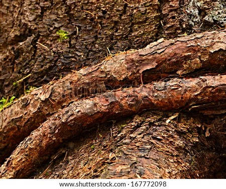background or texture brown belted strain of spruce own roots - stock photo