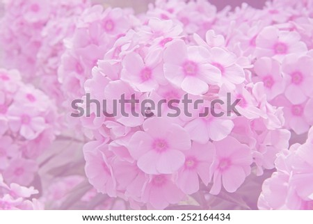 background phlox blossoms in soft pastel color, monochrome - stock photo
