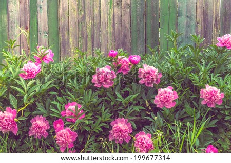 Background shabby rustic wooden fence with big red peonies in front of it - stock photo