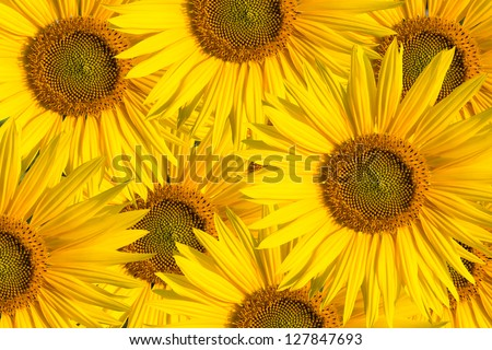 background  sunflowers