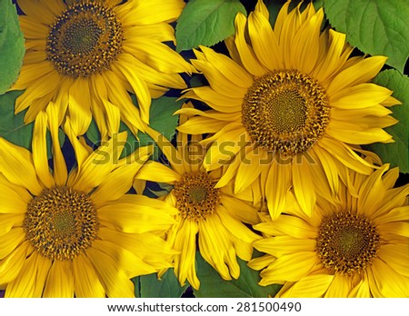background - sunflowers closeup