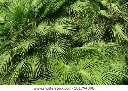 Background, texture. Green leaves of a palm tree.
