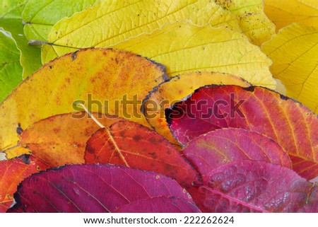 Background texture made from colorful autumn foliage in red, yellow, orange and red - stock photo