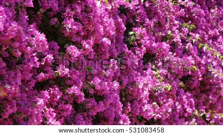 Background view of a Bougainvillea flower tree