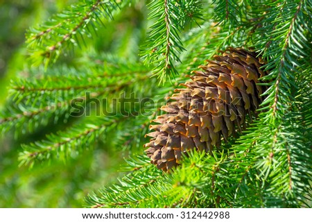 Background with a fir cone on a branch close up