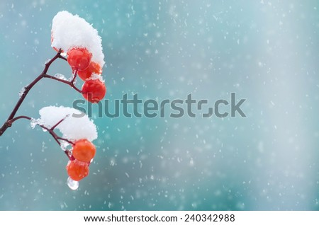 Background with a snow-covered mountain ash - stock photo