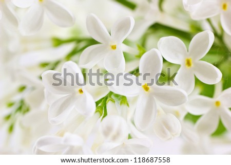 Background with branch of white  lilac. Syringa vulgaris. Shallow depth of field. - stock photo