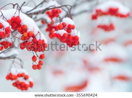 Background with bright red berries of mountain ash under snow - stock photo