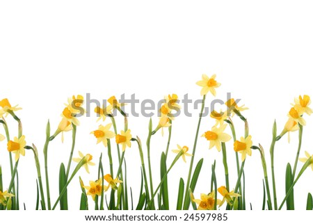 background with bright yellow narcissus