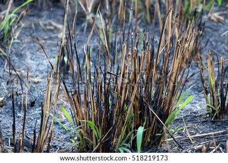 Background with burnt grass ashes. Plant ash and first green sprouts on the field after the fire burned.  Environmental pollution.