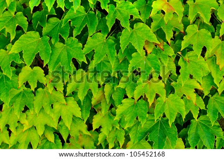 Background with green ivy wall - stock photo