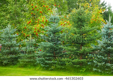 Background with green leaf trees, evergreen trees and rowan.