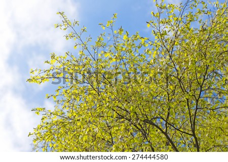 Background with green spring birch branches and blue sky - stock photo