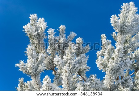 background with snow-covered fir branches on blue sky