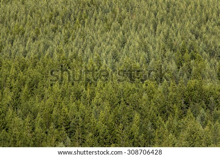 Background with thick spruce tree forest  - stock photo