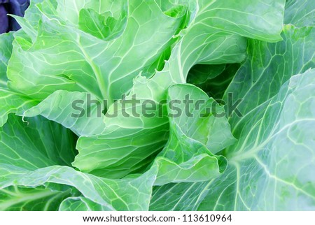 Background with waved cabbage leaves growing on a bed
