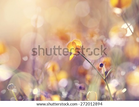 Background with  wildflowers of a buttercup on a meadow lit with the sun. - stock photo