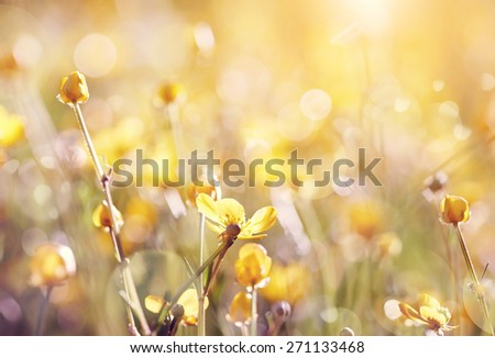 Background with yellow  wildflowers of a buttercup on a meadow lit with the sun. - stock photo