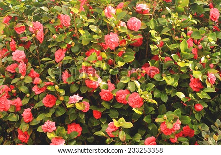 Background witn camellias wall - stock photo