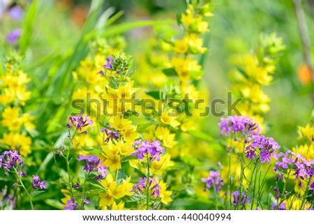 background yellow and purpure flowers and foliage in spring - stock photo