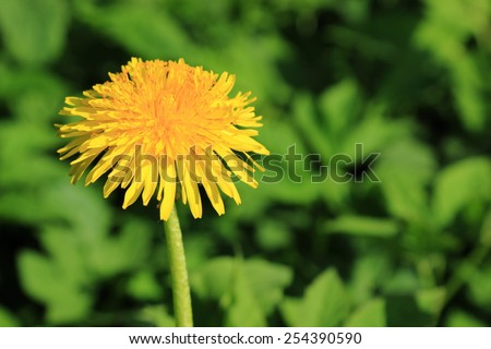 background yellow dandeloons in spring meadow, Russia - stock photo