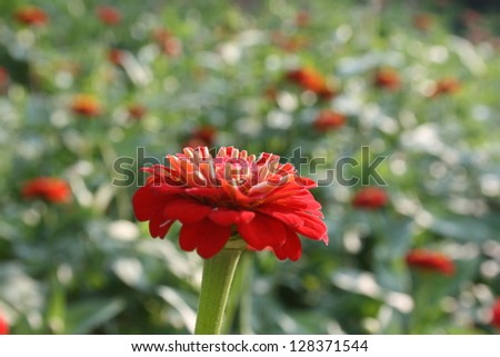 background zinnias, red