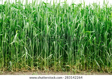 backgrounds nature green wheat in a field, from root to ears - stock photo