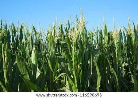 Backgrounds or textures: Green corn standing in the field before harvesting