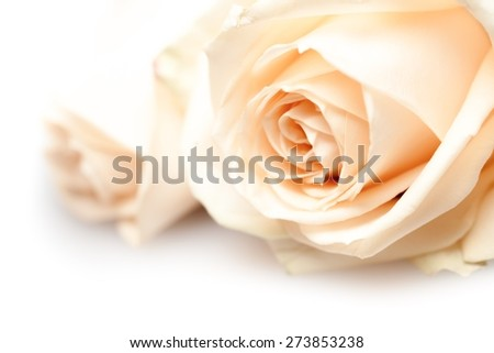Backgrounds, Rose, Flower. - stock photo