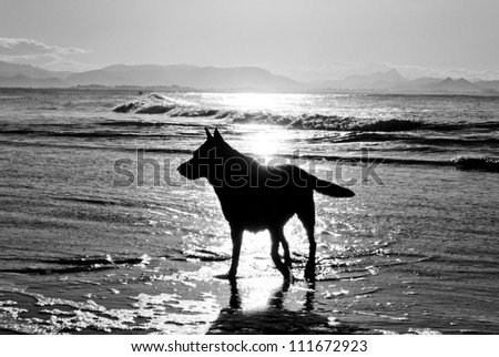 Backlight silhouette of dog walking on a foreshore