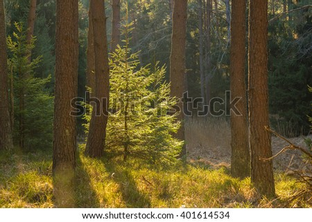 Backlighted spruce in forest during spring - stock photo