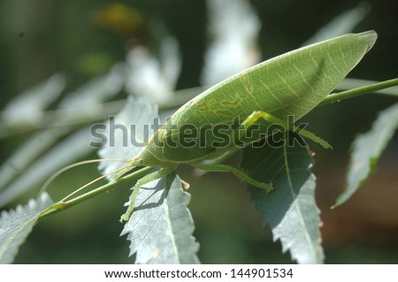 Backlighting on green katydid from Tamil Nadu, South India. - stock photo