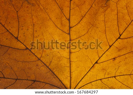 Backlit autumn leaf