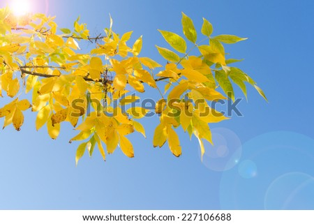 Backlit branch of autumn tree with yellow leaves against blue sky and sunshine flare - stock photo