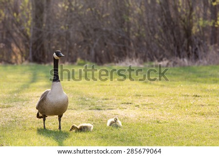 Backlit Canadian Goose and Her Babies - A backlit Canadian Goose (branta canadensis) and her young goslings seen in the Spring.  Warm light and ample copy space in upper part of frame. - stock photo