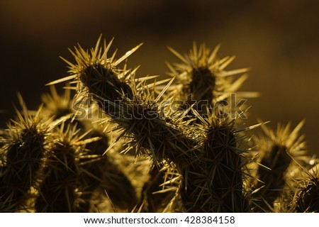 backlit cholla cactus spine detail with dark background - stock photo