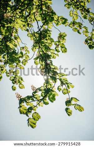 Backlit flowered chestnut tree branch in bloom  - spring is in the city and in the green parks - stock photo