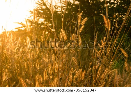 Backlit foxtails grass