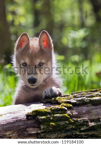 Backlit head and shoulders image of a young wolf pup - stock photo