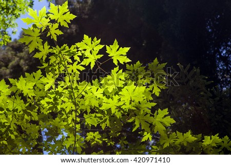 Backlit Leaves with narrow depth of field. - stock photo