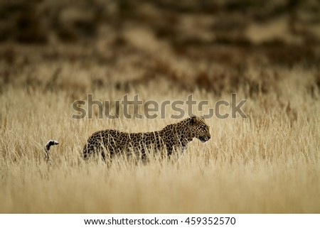backlit leopard - stock photo