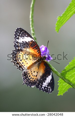 Backlit Malaysian Lacewing Butterfly