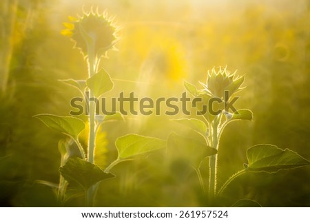 Backlit of sunflower plantation with tiny depth of field and soft focus - stock photo