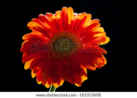 Backlit orange gerbera daisy on black background - stock photo
