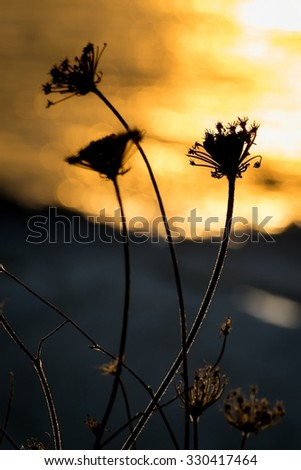 Backlit silhouette of a dandelion at sunset - stock photo